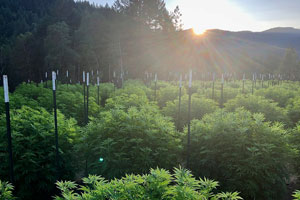 Ananda Farms craft involves deeper focus on how each cannabis plant is cured and preserved